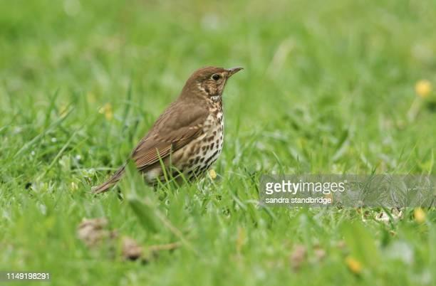 a song thrush (turdus philomelos) standing in the grass hunting for food. - tordo bottaccio foto e immagini stock