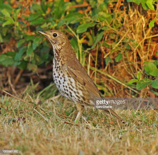 song thrush [turdus philomelos] - thrush stock pictures, royalty-free photos & images
