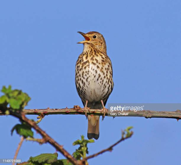 song thrush [turdus philomelos] - birdsong stock pictures, royalty-free photos & images