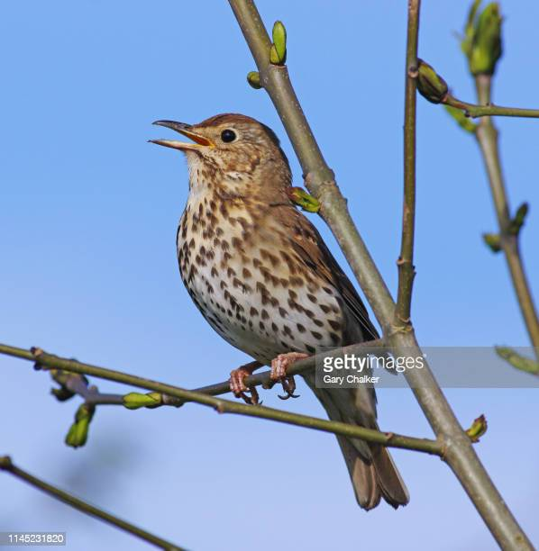 song thrush [turdus philomelos] - animal call stock pictures, royalty-free photos & images