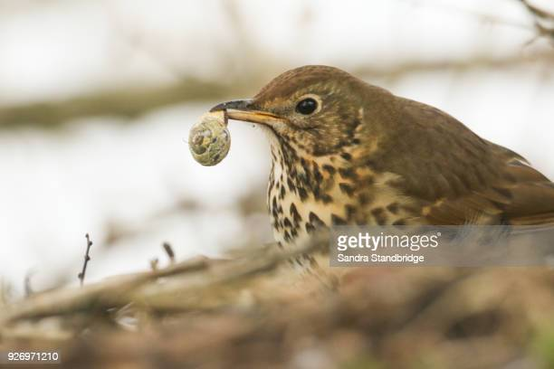 a song thrush (turdus philomelos) with a snail in its beak. - thrush stock pictures, royalty-free photos & images
