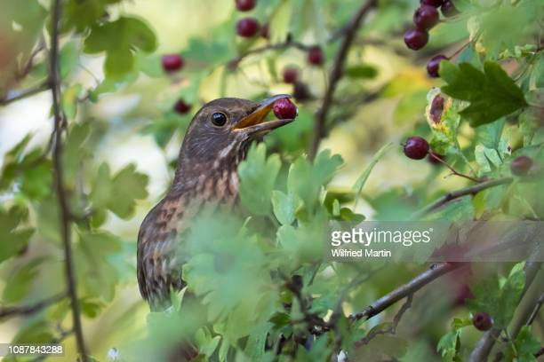 song thrush (turdus philomelos) with berry in beak, common hawthorn (crataegus monogyna), hesse, germany - may flowers stock pictures, royalty-free photos & images