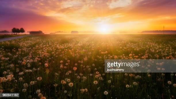 sonnenaufgang über einer blumenwiese mit leichtem bodennebel - o amanhecer - fotografias e filmes do acervo