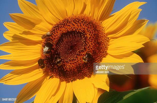 Sonnenblume mit Hummel 2001