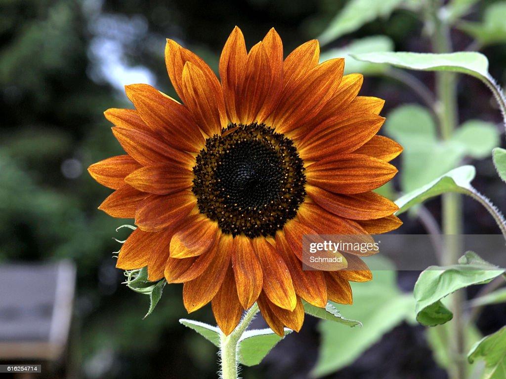 Sonnenblume : Foto de stock