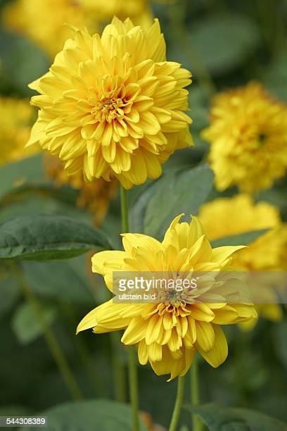 Sonnenblume Sorte Soleil d' Or Staudensonnenblume
