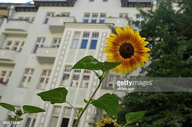 Sonnenblume vor einem Wohnhaus in der Ahlbecker Straße in BerlinPrenzlauer Berg