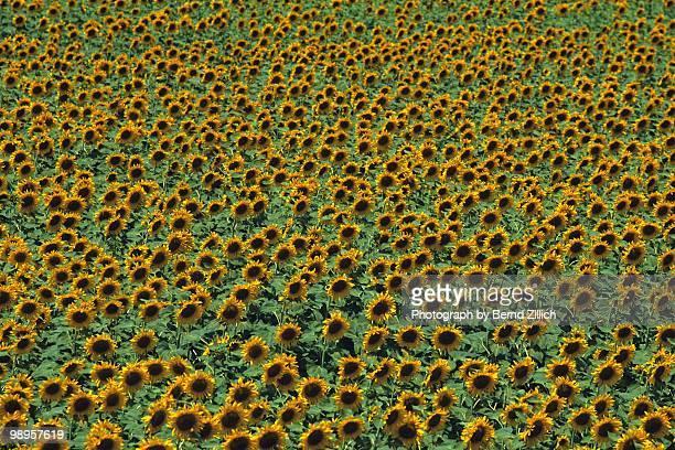 sonnenblumenfeld - spanien stockfoto's en -beelden