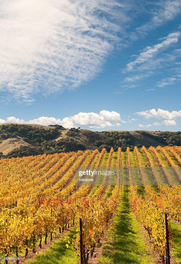 Sonoma Valley Winery Vines : Stock Photo