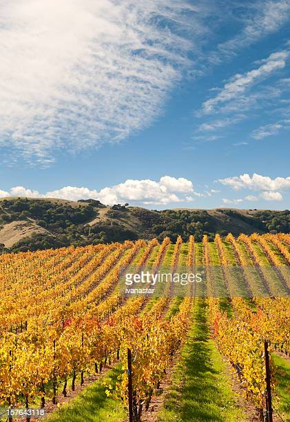 sonoma valley winery vines - pinot noir grape stock photos and pictures