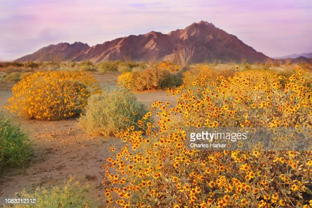 Sonora Desert in Bloom