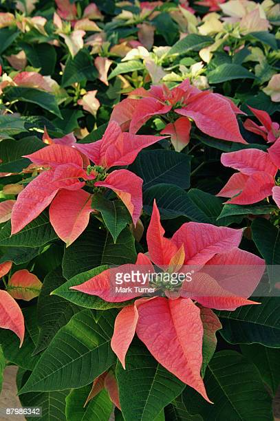 sonora pink poinsettias - planchas_de_plata,_sonora stock pictures, royalty-free photos & images