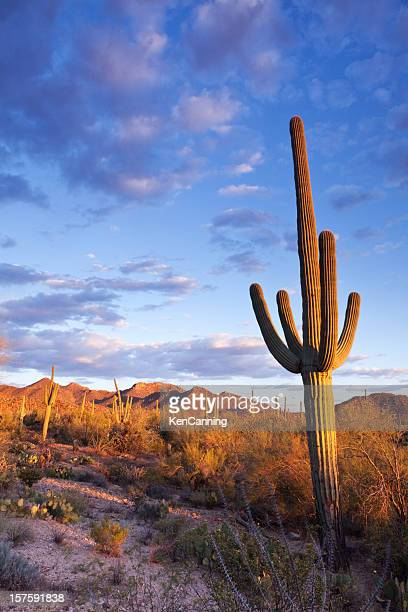 sonoran desert and saguaro cactus - sonoran desert stock pictures, royalty-free photos & images
