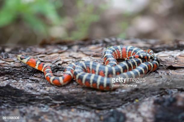 sonoran mountain kingsnake (lampropeltis pyromelana pyromelana) - kingsnake stock photos and pictures
