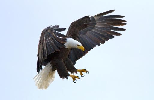 Bald Eagle 148292678