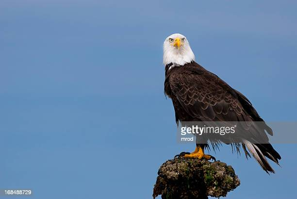 bald eagle - perching stock pictures, royalty-free photos & images