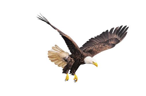 Bald eagle. 486472337