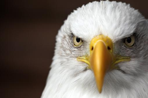 Bald Eagle 537535813