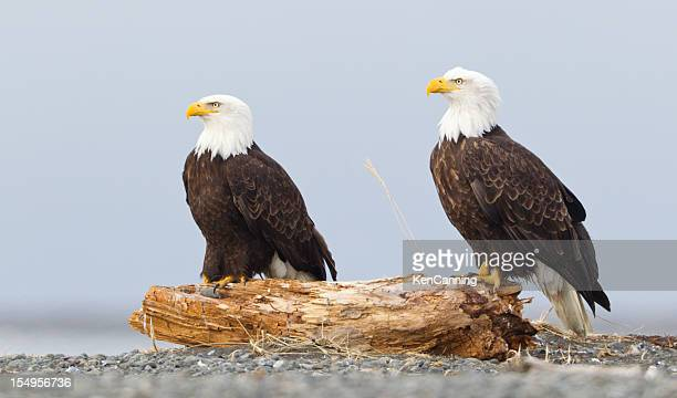 bald eagles - perching stock photos and pictures