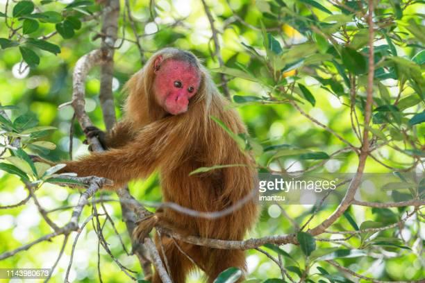 Soon Uakari Monkey