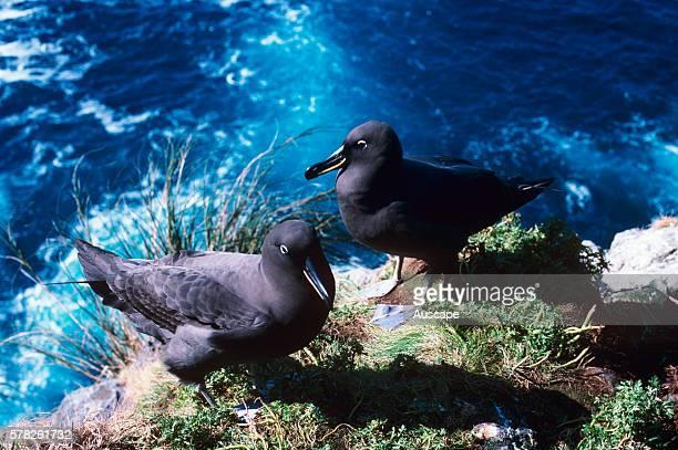 Sooty albatross, Phoebetria fusca, pair,Gough Island, South Atlantic.