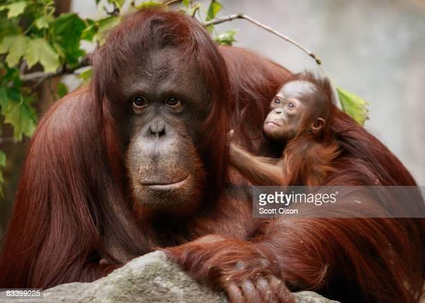 Sophia a twentysevenyearold Bornean orangutan holds her newborn in her enclosure at Brookfield Zoo October 23 2008 in Brookfield Illinois The female...