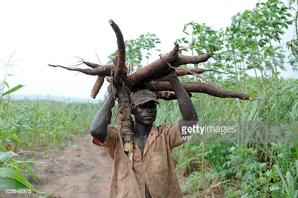 Sophie MONGALVY A farmer carries a bunch of cassava roots in Oshogbo Osun State on August 26 2010 The International Institute of Tropical Agriculture...