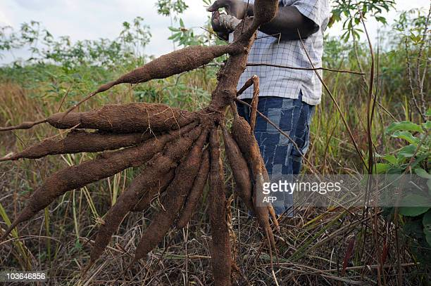 Sophie MONGALVY A farmer holds up a bunch of cassava roots dug up from his farm in Oshogbo in Osun State on August 26 2010 The International...