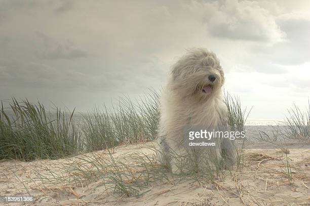 sophie - old english sheepdog stock pictures, royalty-free photos & images
