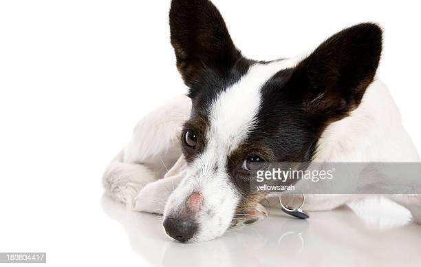 Irritación de nariz perro