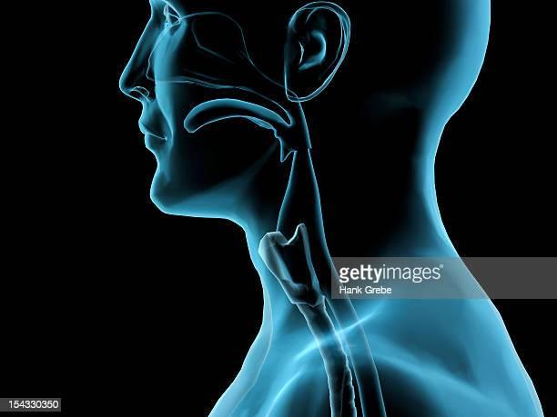 Sore throat, side x-ray, Hank Grebe, (b.20th C./American), Computer graphics
