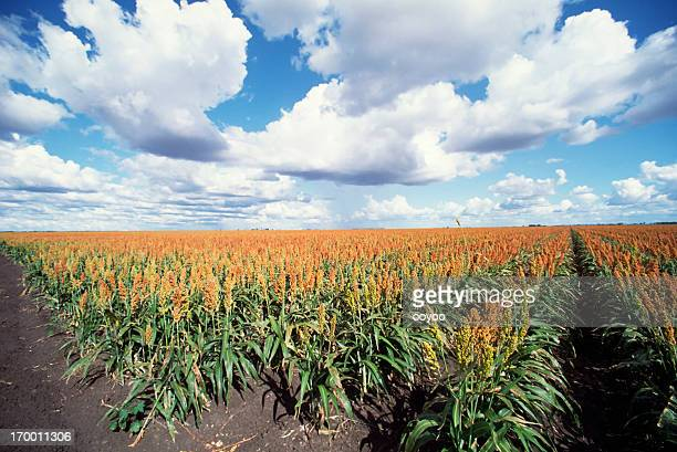sorghum field - sorghum stock pictures, royalty-free photos & images