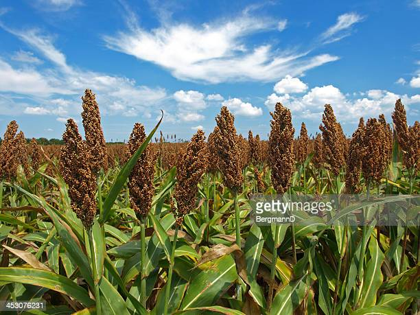 sorghum - sorghum stock pictures, royalty-free photos & images
