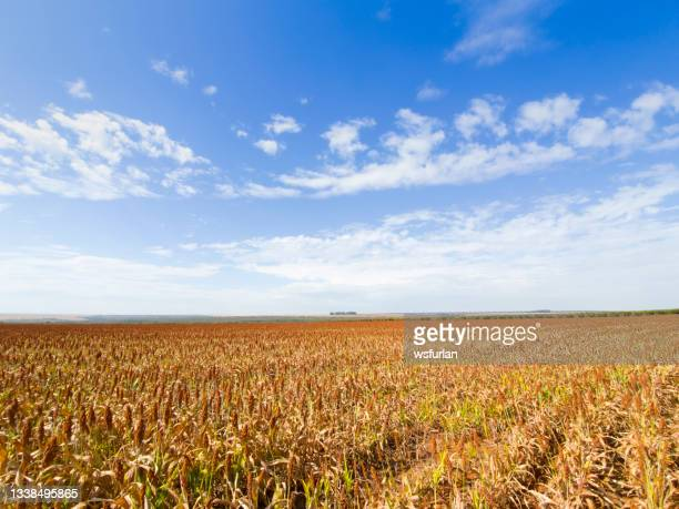sorghum plantation. - sorghum stock pictures, royalty-free photos & images