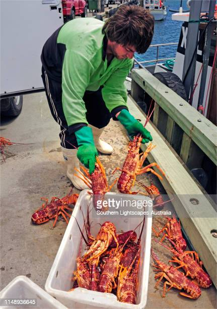 sorting the fresh lobster (crayfish) catch, currie, king island, tasmania - lobster fishing stock photos and pictures