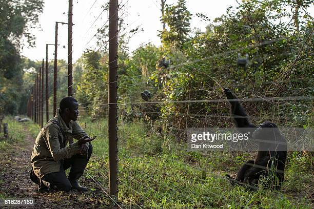 Sory Keira interacts with 12 year old Lobai through the enclosure fence at the Chimpanzee Conservation Centre on November 24 2015 in Somoria Guinea...