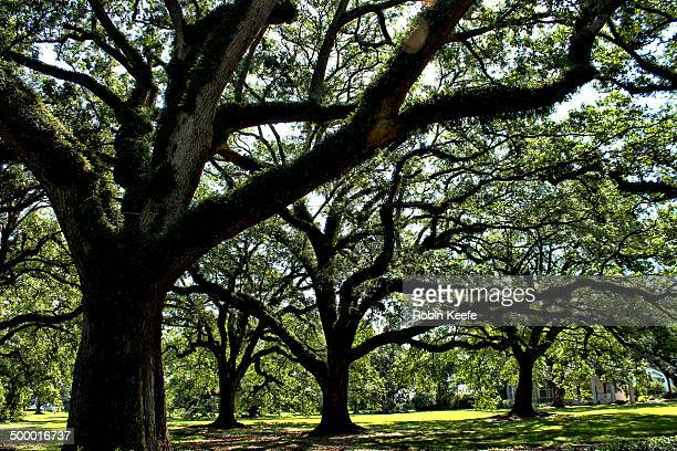 sosuthern live oaks - live oak tree stock pictures, royalty-free photos & images