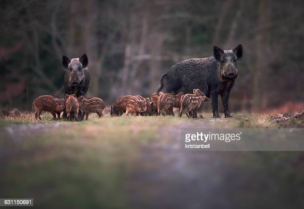 Sounder of Wild boar (Sus scofa) family on footpath, Forest of Dean, Gloucestershire, England, UK