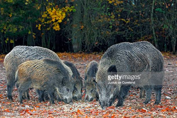 A sounder of wild boars (Sus scrofa), in autumn