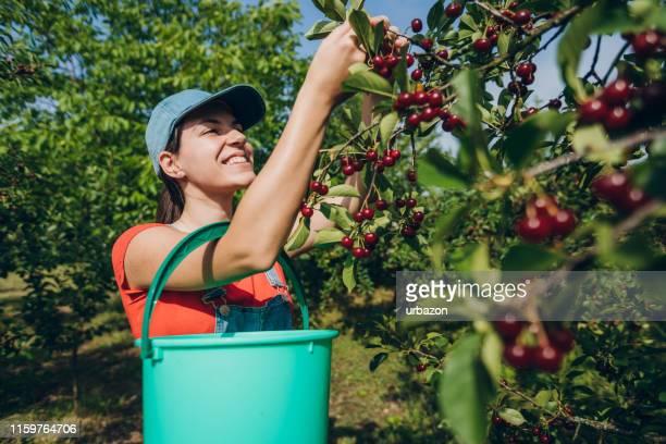 サワーチェリーフルーツ収穫 - サワーチェリー ストックフォトと画像