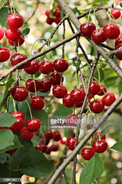 sour cherry - サワーチェリー ストックフォトと画像