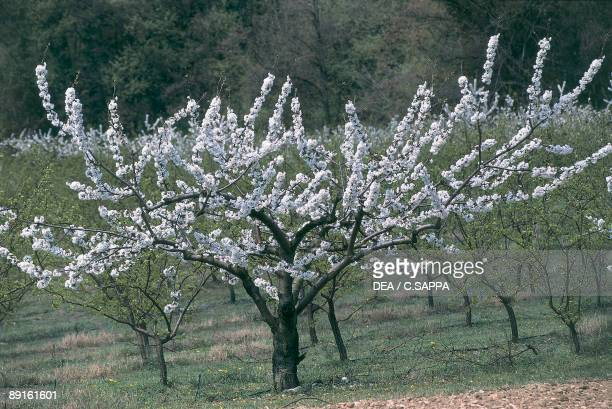 Sour cherry trees in a field