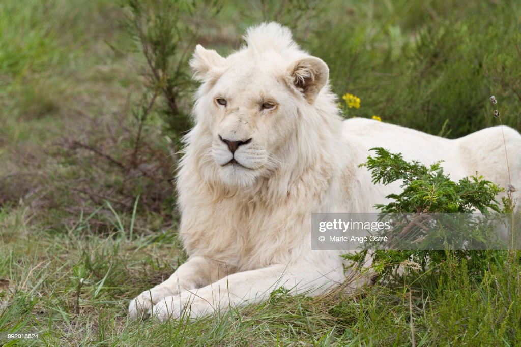 South Africa, animal: endangered and rare white lion : Foto de stock