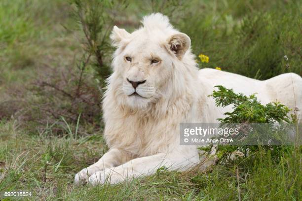south africa, animal: endangered and rare white lion - white lion stock photos and pictures