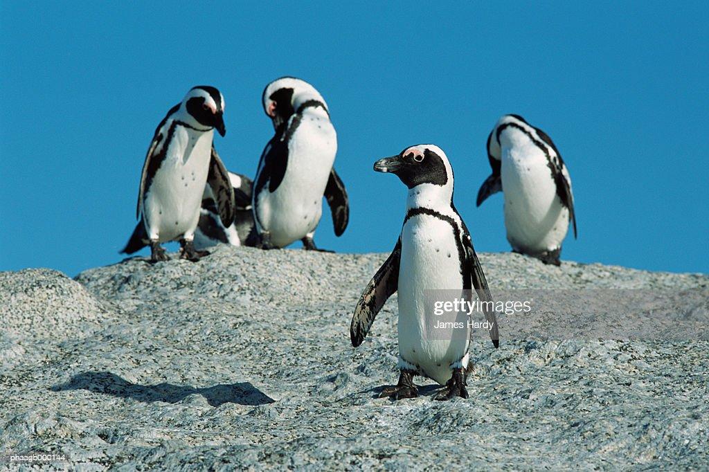 South Africa, Cape Peninsula, jackass penguins : Stockfoto