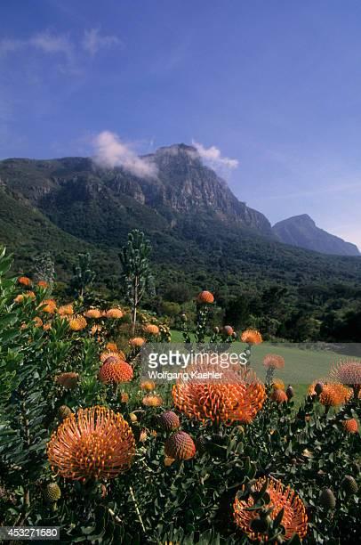 South Africa Cape Town Kirstenbosch Botanical Gardens Protea Scolymoaphala Table Mountain