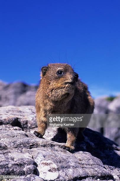South Africa, Cape Town, Table Mountain, Rock Hyrax.