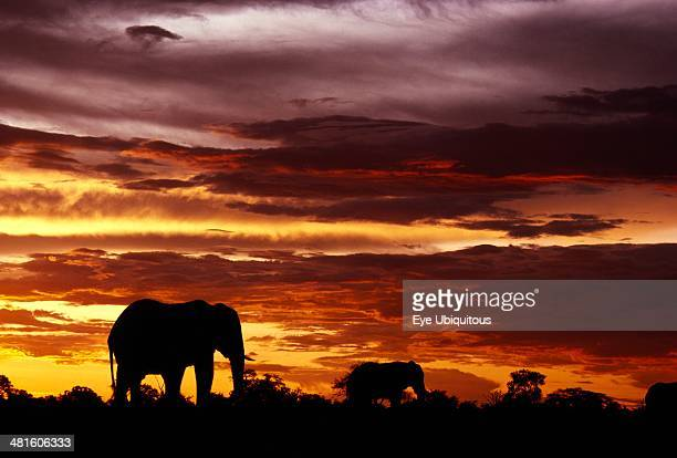 South Africa East Transvaal Kruger National Park Two African Elephants walking on the horizon at sunset