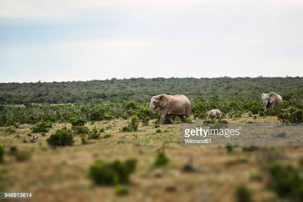 South Africa, Eastern, Cape, Addo Elephant National Park, african elephants, Loxodonta Africana