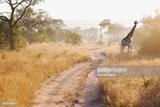 South Africa, Giraffe in bush